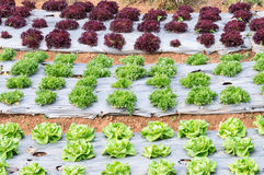 Fresh lettuce plot Royalty Free Stock Photo
