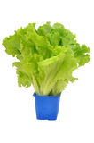Fresh lettuce in a pot Royalty Free Stock Images
