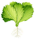 Fresh lettuce with root Stock Photography