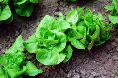 Fresh lettuce salad. Fresh organic lettuce salad in the garden Royalty Free Stock Photo