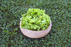 Fresh lettuce salad in wooden wicker basket on garden grass Stock Photography