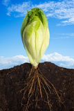 Fresh Lettuce. Side view of a closeup of lettuce with the roots in the ground and sky panorama Royalty Free Stock Photo