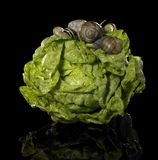 Fresh lettuce and snails Stock Photos