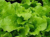 Fresh lettuce, straight from the garden. stock images
