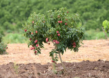 Fresh lichi on tree. In lichi orchard Stock Images