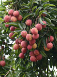 Fresh lichi on tree. In lichi orchard Royalty Free Stock Images