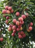 Fresh lichi on tree Royalty Free Stock Images