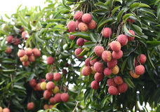 Fresh lichi on tree Stock Image