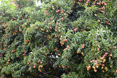 Fresh lichi on tree. In lichi orchard Royalty Free Stock Photo