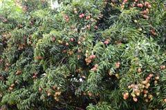 Fresh lichi on tree Royalty Free Stock Photo