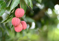 Fresh lichi on tree. In lichi orchard Royalty Free Stock Photos