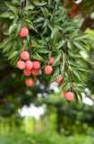 Fresh lichi on tree. In lichi orchard Stock Image