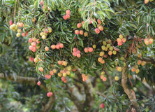 Fresh lichi on tree. In lichi orchard Stock Photography