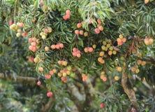 Fresh lichi on tree Stock Photography