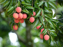 Fresh lichi on tree. In lichi orchard Stock Photo