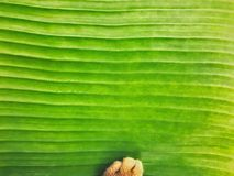 Fresh light green banana leaf texture close up background with cat paw soft focus. Horizontal curve line of nature pattern royalty free stock photos