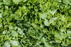 Fresh light-green lettuce leaves Royalty Free Stock Photos