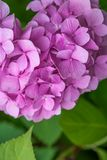Close-up Pink Hydrangea in the garden. stock photography