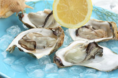 Fresh light steamed oysters on ice Stock Photos