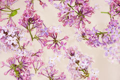 Fresh lilac flower petals floating on water in the white ceramic bowl. Royalty Free Stock Images