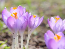 Fresh lilac spring blossoming crocus flowers in Alpine glade. Stock photo with soft focus and shallow DOF Stock Photography