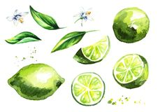 Fresh Lime fruits and leaves with flowers collection. Watercolor hand drawn illustration vector illustration