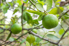 Fresh lime with green leaf Royalty Free Stock Images