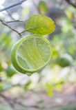 Fresh lime with green leaf Royalty Free Stock Image