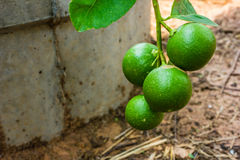 Fresh lime. Green limes with branch in the garden Stock Photography