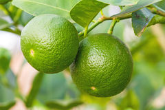 Fresh lime green on the tree, lemon thai on natural light. Fresh lime green on the tree, lemon thai royalty free stock photo