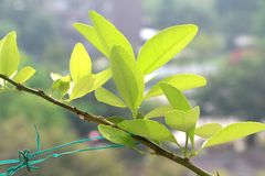 Fresh lime leaves. Fresh lime leaves glowing in sunlight on branch in garden Royalty Free Stock Photography