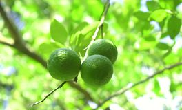 Fresh Lime. On the tree royalty free stock images