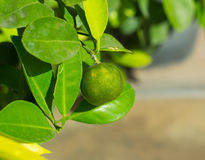 Fresh lime from the tree Royalty Free Stock Photography
