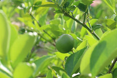 Fresh lime on the tree. Close up royalty free stock photos