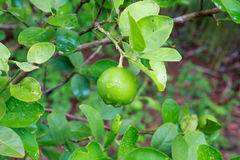 Fresh lime on the tree. Close up stock photos