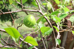Fresh lime on the tree. Close up royalty free stock photography