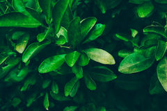 Fresh Lime Tree - Exclusive Green Colour. Selective Focus Stock Photography