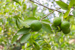 Fresh lime on tree. In garden stock photos