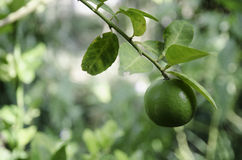 Fresh Lime on Tree. Fresh Green Lime on Tree Royalty Free Stock Images
