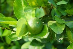 Lime tree in nature garden. Fresh lime tree in nature garden royalty free stock photo