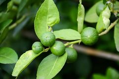 Fresh lime tree. In nature garden royalty free stock photo