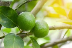 Fresh lime tree. In nature garden royalty free stock photos