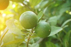 Fresh lime tree in nature garden. Close up fresh lime tree in nature garden royalty free stock photo