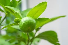 Fresh lime on lime tree in an organic garden. Fresh lime on lime tree in an organic garden stock photography