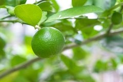 Fresh lime on lime tree in an organic garden. Fresh lime on lime tree in an organic garden royalty free stock photos