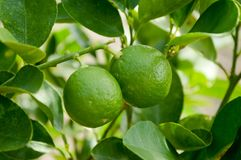 Fresh lime tree Royalty Free Stock Image