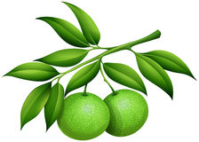 Fresh limes on the branch Royalty Free Stock Images