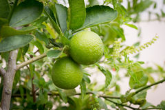 Fresh limes on lime tree. Green fresh limes on lime tree royalty free stock photography