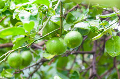 Fresh limes raw green lemon hanging on a lime tree in garden. Limes Cultivation royalty free stock photo