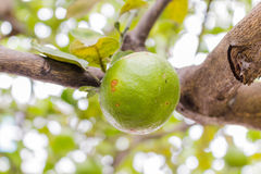 Fresh limes on tree Royalty Free Stock Images
